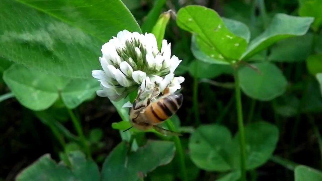 Comment recevoir les graines de trèfles pour les abeilles ?